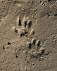 Raccoon tracks on Patuxent River cove beach<br /> Sotterley Plantation, Hollywood, MD