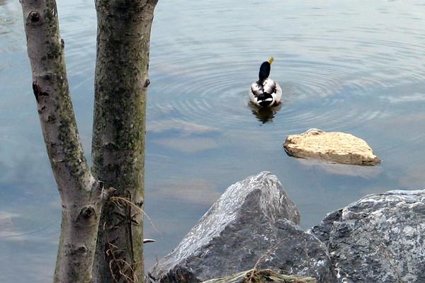 Mallard in Lake Needwood<br /> Rock Creek Regional Park, Derwood, MD