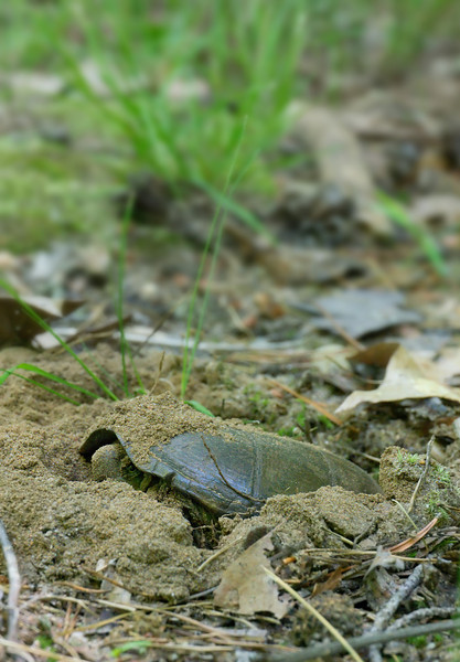 Eastern mud turtle (<I>Kinosternon subrubrum</I>) laying her eggs in sandy woodland soil Jug Bay Wetlands Sanctuary, Lothian, MD