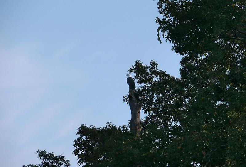 Bald eagle surveying the Chesapeake Bay<br /> John H. Downs Memorial Park, Pasadena, MD