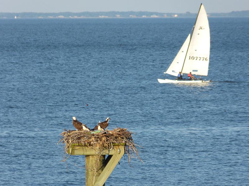 Osprey family on the Chesapeake Bay<br /> John H. Downs Memorial Park, Pasadena, MD