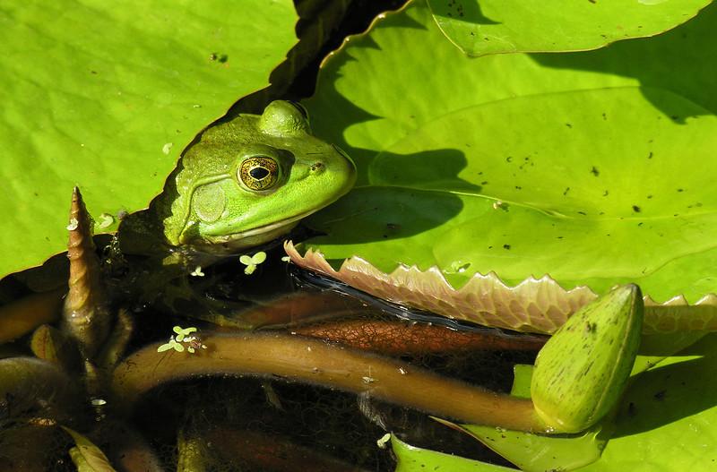 American bullfrog (<I>Rana catesbeiana</I>) Brookside Gardens, Wheaton, MD