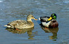Mallard couple on ice (<I>Anas platyrhynchos</I>) Havre de Grace, MD