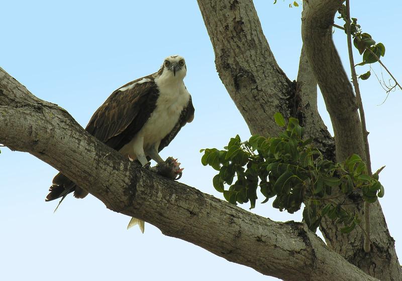 Osprey enjoying fish lunch<br /> Flamingo, Everglades National Park, FL