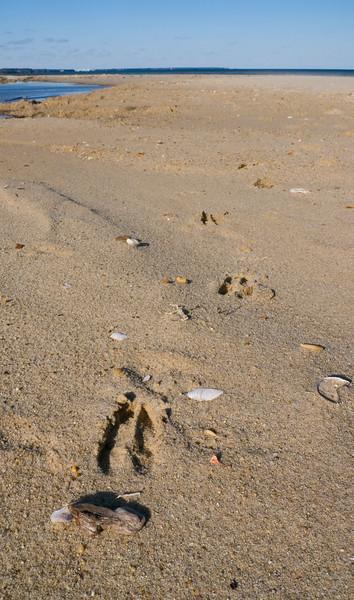 Whitetail deer tracks in the sand<br /> Elm's Beach, Lexington Park, MD