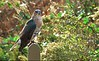 Coopers hawk (in captivity)<br /> Horsehead Wetlands Center, Grasonville, MD
