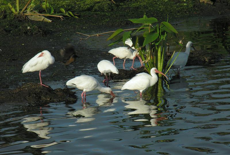 White ibis<br /> Wakodahatchee Wetlands, Delray Beach, FL