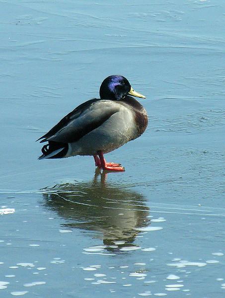Mallard male on ice (<I>Anas platyrhynchos</I>) Havre de Grace, MD