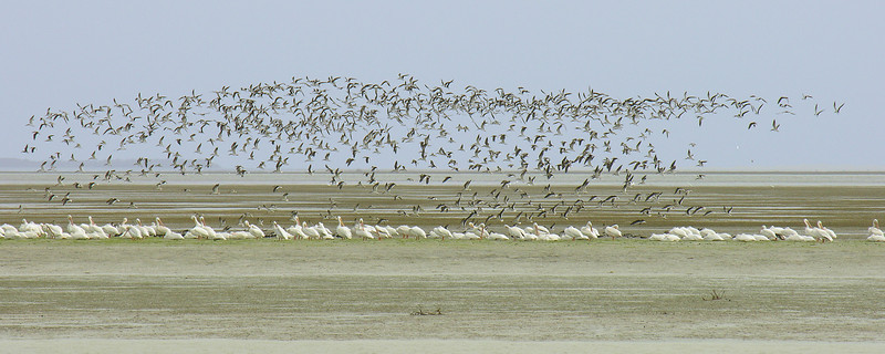 Black skimmers and white pelicans in Florida Bay<br /> Flamingo, Everglades National Park, Florida