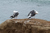 California (?) gulls at Point Loma tide pools<br /> San Diego, CA