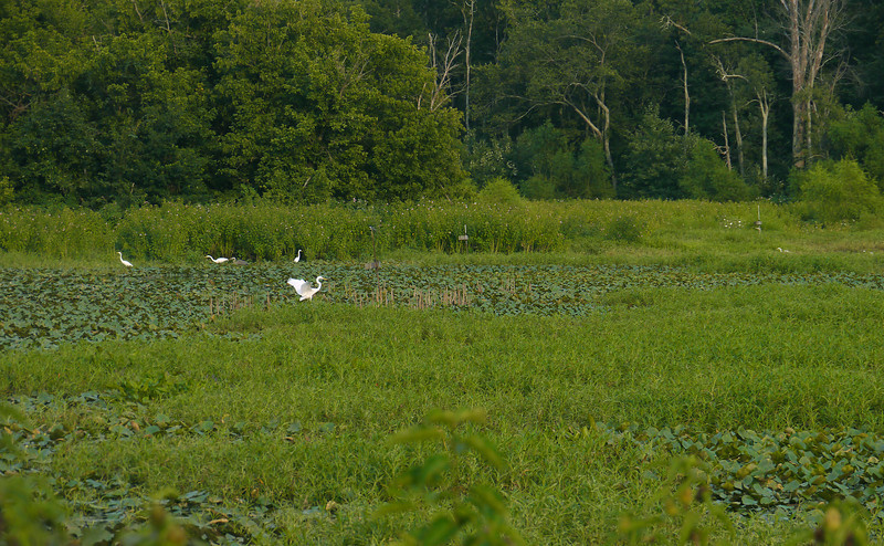 Great egrets in Hughes Hollow freshwater impoundment<br /> McKee Beshers Wildlife Mgt Area, Poolesville, MD