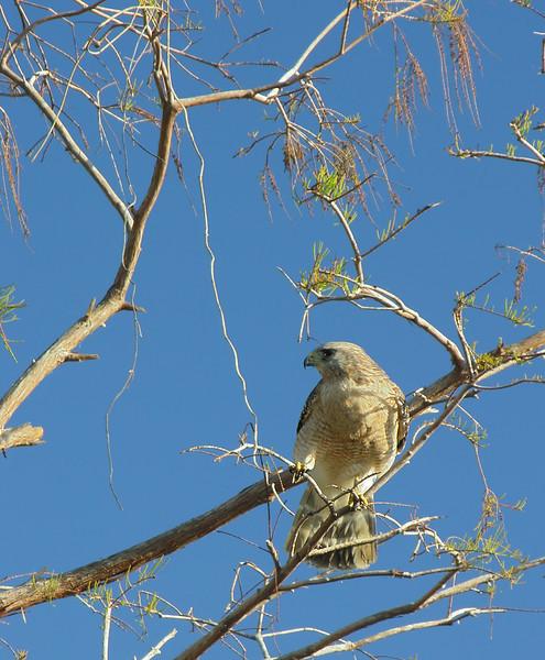 Red-shouldered hawk (South Florida race)<br /> Shark Valley, Everglades National Park, Florida