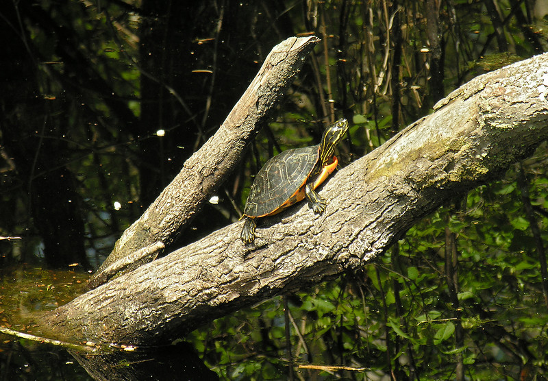 Yellow-bellied slider (<I>Chrysemys scripta</I>)? basking in the sun Great Dismal Swamp National Wildlife Refuge, near Suffolk, VA