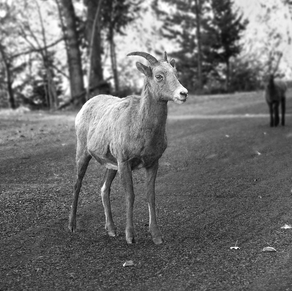 Female big horn sheep & lamb (<I>Ovis canadensis</I>) Banff National Park, Alberta, Canada