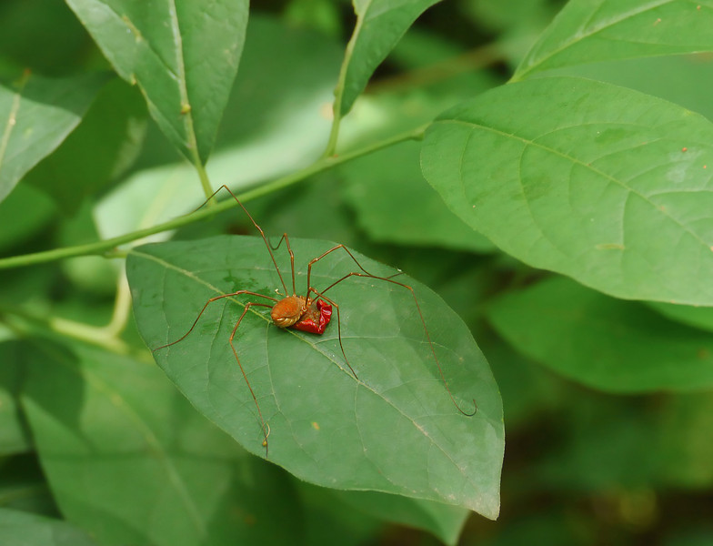 Harvestman feasting on wild cherry fruit<br /> G. Richard Thompson Wildlife Mgt. Area, Fauquier County, VA