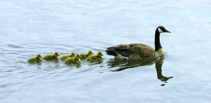 Canada goose family<br /> James River, Richmond, VA