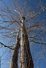 Eagle nest in sycamore tree<br /> Sotterly Plantation, Hollywood, MD