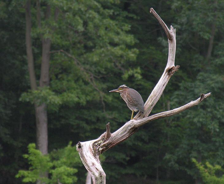 Juvenile green heron at Little Seneca Lake<br /> Black Hill Regional Park, Boyds, MD