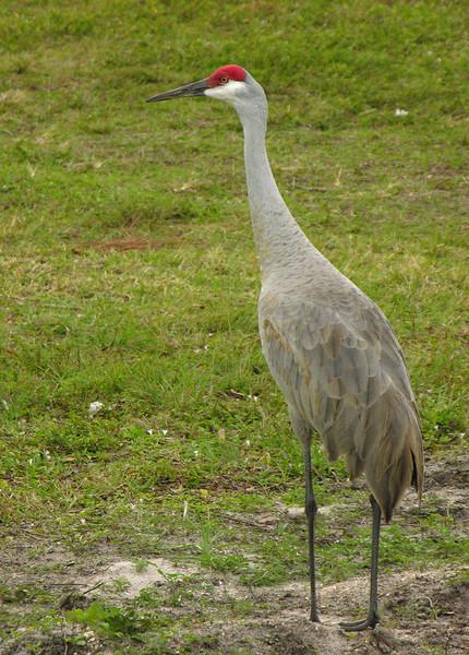 Sandhill crane<br /> Okeeheelee Park, West Palm Beach, FL
