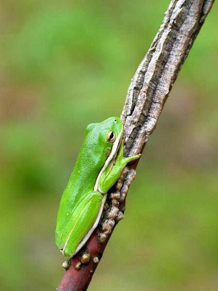 Green tree frog (<I>Hyla cinerea</I>) Jug Bay Wetlands Sanctuary, Lothian, MD