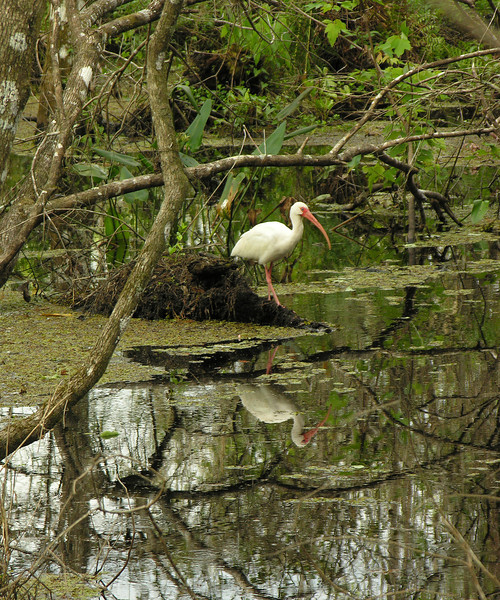 White ibis in swamp<br /> Corkscrew Swamp Sanctuary, FL