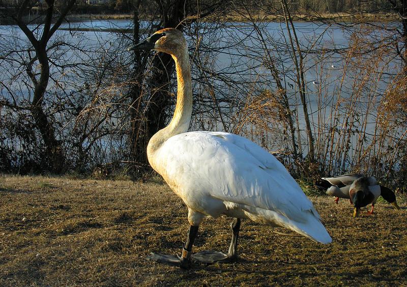 Trumpeter swan (#962 from Canada)<br /> School House Pond, Upper Marlboro, MD
