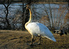Trumpeter swan (#962 from Canada)<br /> School House Pond, Upper Marlboro, MD