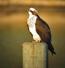 Osprey perching in Potomac River cove (thru spotting scope)<br /> St. Mary's River State Park, near Lexington, MD