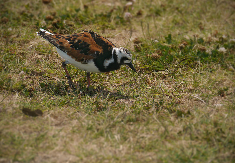 Ruddy turnstone hunting in grass<br /> Southport, NC