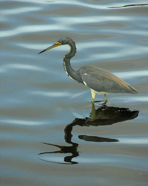Tricolored heron<br /> Wakodahatchee Wetlands, Delray Beach, FL