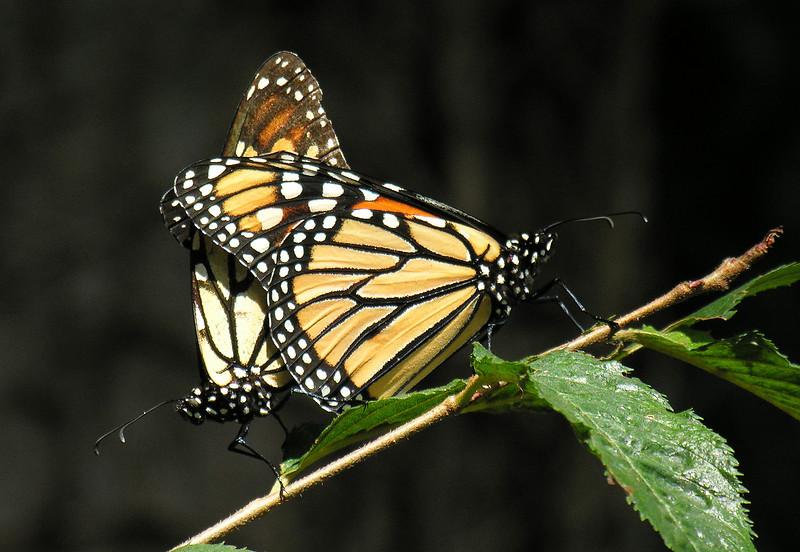 "Monarch butterfllies (<I>Danaus plexippus</I>) mating <span class=""nonNative"">[captive]</span> Brookside Gardens ""Wings of Fancy"" exhibit, Wheaton, MD"