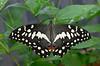 "Lime swallowtail butterfly (<I>Papilio demoleus</I>), <I>aka</I> Mariposa del Muerte <span class=""nonNative"">[non-native invasive, captive]</span> Brookside Gardens ""Wings of Fancy"" exhibit, Wheaton, MD"