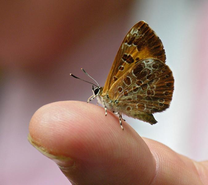 Harvester butterfly (<I>Feniseca tarquinius</I>) - Rare & carnivorous McKee-Beshers Wildlife Mgt Area, Poolesville, MD