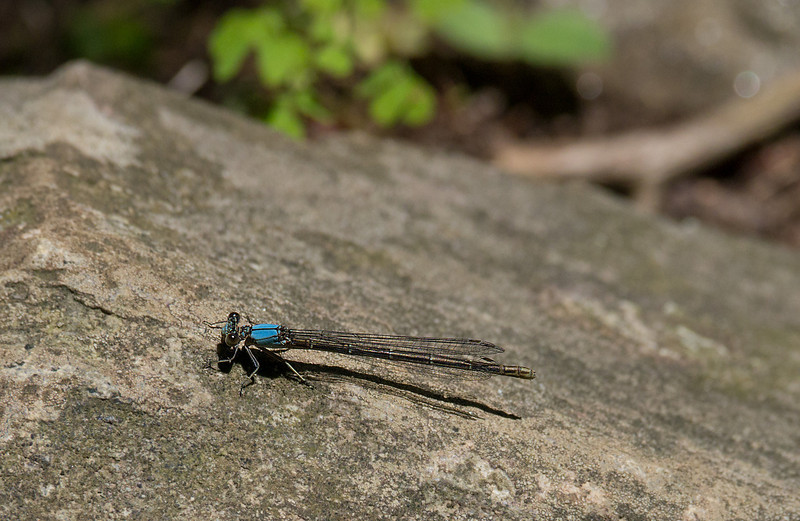Bluet (pond damselfly) perched on rock<br /> C&O Canal Nat'l Historical Park - Great Falls, Western Montgomery County, MD
