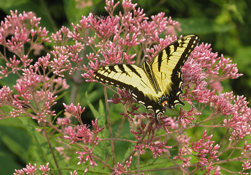 Tiger swallowtail (<I>Papilio glaucus</I>) on spotted Joe-Pye weed (<I>Eutrochium maculatum</I>) Brookside Gardens, Wheaton, MD