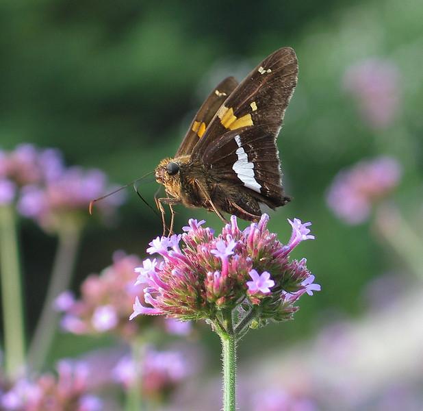 Silver-spotted skipper (<I>Epargyreus clarus</I>) Brookside Gardens, Wheaton, MD