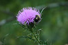 Bumble bee (<I>Bombus impatiens</I>) on field thistle (<I>Cirsium discolor</I>) Woodend Sanctuary, Chevy Chase, MD