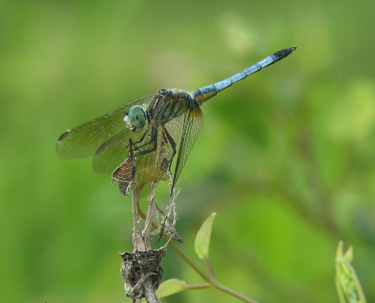 Blue dasher dragonfly (<I>Pachydiplax longipennis</I>), male  Kenilworth Aquatic Gardens, Washington, DC