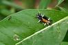 Milkweed tussock moth caterpillar (<I>Euchaetes egle</I>) Woodend Sanctuary, Chevy Chase, Maryland