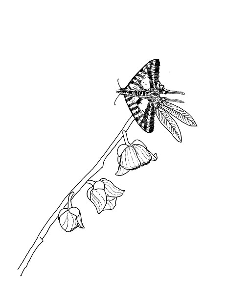 """<i>Zebra Swallowtail on Pawpaw</i>  (2019) Pen &amp; ink - 8.5""""x11"""" For BASNCR pollinator coloring book"""