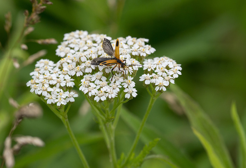 "Unidentified beetle taking off from yarrow (<I>Achillea millefolium</I>) <span class=""nonNative"">[arguably non-native]</span> McKee-Beshers Wildlife Mgt Area, Poolesville, MD"