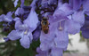 "Jacaranda (<i>Jacaranda mimosifolia</i>), the <a href=""http://thehorticult.com/purple-haze-jacaranda-fever-hits-san-diego/"" target=""_blank"">official urban flower of San Diego</a> <span class=""nonNative"">[non-native]</span> San Diego, CA"