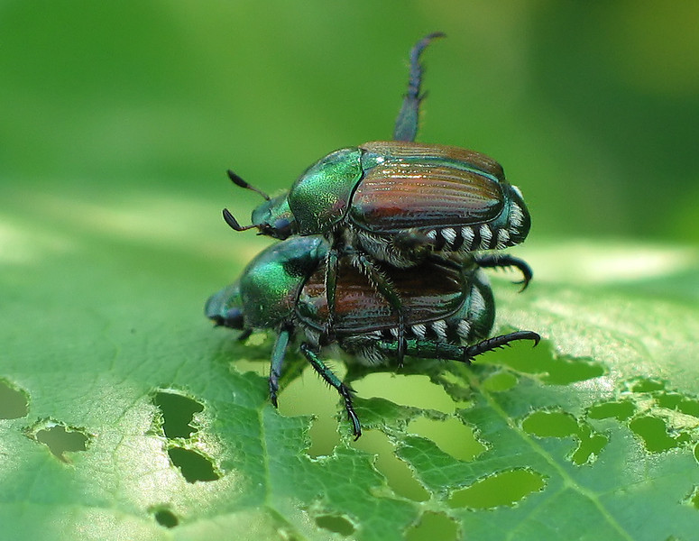 Japanese beetles (<I>Popillia japonica</I>) mating after feasting on leaf  McKee-Beshers Wildlife Mgt Area, Poolesville, MD