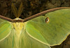 Male luna moth (<i>Actias luna</i>) George Washington National Forest, Fort Valley area, VA