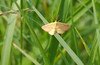 Chickweed geometer moth (<I>Haematopis grataria</I>) McKee-Beshers Wildlife Mgt Area, Poolesville, MD