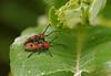 Milkweed longhorned beetles (<I>Tetraopes</I> sp.) mating on milkweed plant Rachel Carson Conservation Park, Brookeville, MD