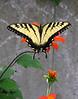 Male tiger swallowtail (<I>Papilio glaucus</I>) Brookside Gardens, Wheaton, MD