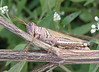 Differential grasshopper (<i>Melanoplus differentialis</i>) in meadow Seneca Creek Greenway Trail near Germantown, MD