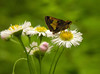 Least skipper (?) on common fleabane (<I>Erigeron philadelphicus</I>) Hoyle's Mill Conservation Park, Boyds, MD