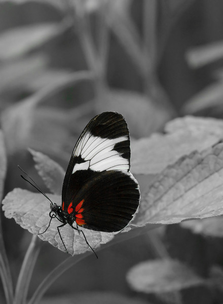 "Doris longwing butterfly (<I>Heliconius Doris</I>) <span class=""nonNative"">[non-native, captive]</span> Brookside Gardens ""Wings of Fancy"" exhibit, Wheaton, MD"